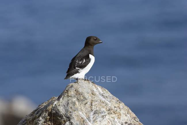 Close-up of little auk sitting on rock by sea, Spitsbergen, Norway, Europe — Stock Photo