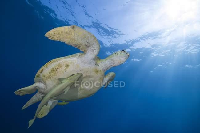 Зелена черепаха з sharksucker риби плавають в блакитною водою Червоного моря, Марса Алам, Єгипет, Африка — стокове фото