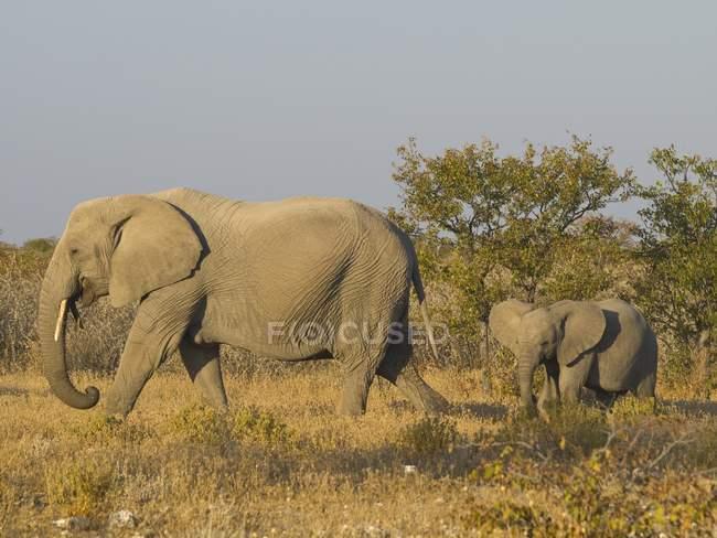 Elefante africano con il cub in pascolo, Parco nazionale di Etosha, Namibia, Africa — Foto stock
