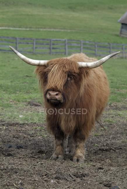 Scottish Highland pastoreo de vacas en pasto, Mieminger Plateau, Tirol, Austria, Europa - foto de stock