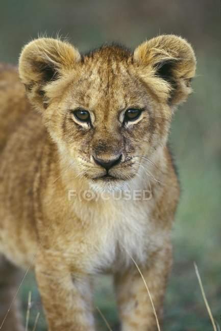 Giovane leone africano nel Parco nazionale del Serengeti, Tanzania, Africa orientale, Africa — Foto stock