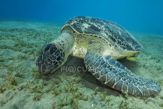 Tartaruga do mar verde comendo grama do mar na areia, fundo do mar, mar vermelho, Marsa Alam, Egito, África — Fotografia de Stock