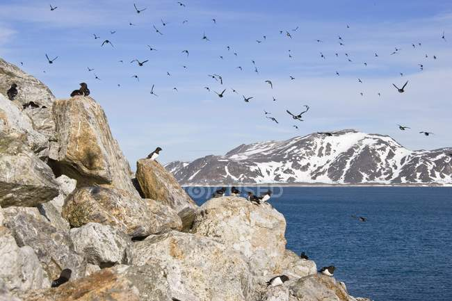 Little auks sitting on rocks and flying in sky by sea, Spitsbergen, Norway, Europe — Stock Photo