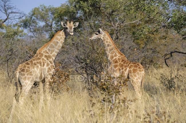 Giraffe in cespugli sull'Altopiano Waterberg National Park, Namibia, Africa — Foto stock