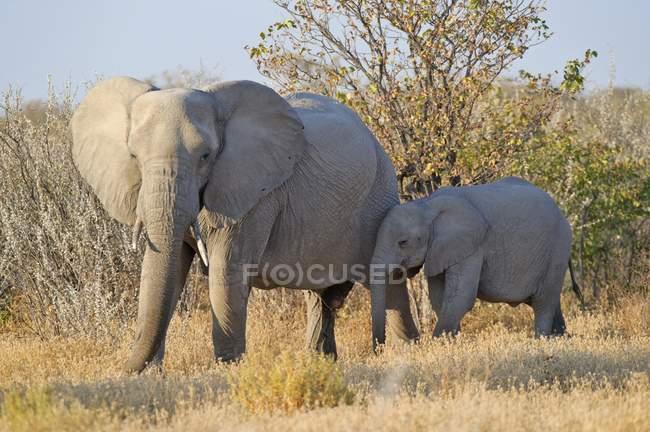Elefante africano con il vitello giovane, Parco nazionale di Etosha, Namibia, Africa — Foto stock