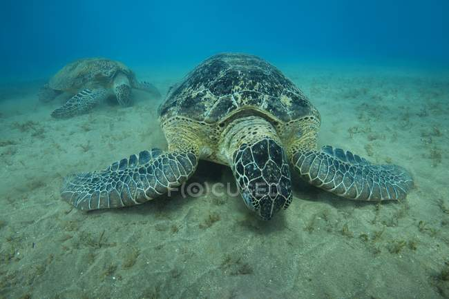Tartarugas marinhas verdes comer grama do mar no leito de areia, mar vermelho, Marsa Alam, Egito, África — Fotografia de Stock