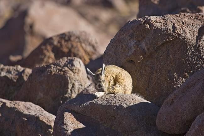 Lagidium viscacia assis dans les roches d'El Tatio Geyser champ, Antofagasta, au Chili, en Amérique du Sud — Photo de stock