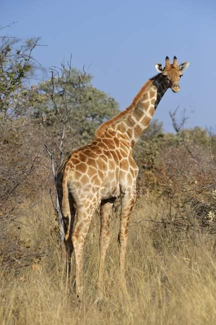 Жираф в траве на плато в Африке Ватерберг национального парка, Намибия, — стоковое фото