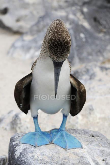 Blue-footed booby looking down on rock at Espanola Island, Galapagos, Ecuador, South America — Stock Photo