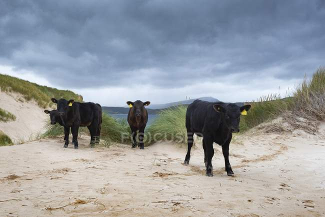 Angus cattle standing in dune landscape at Cape of Balnakeil, Durness, Caithness, Sutherland and Easter Ross, Scotland, United Kingdom, Europe — Foto stock