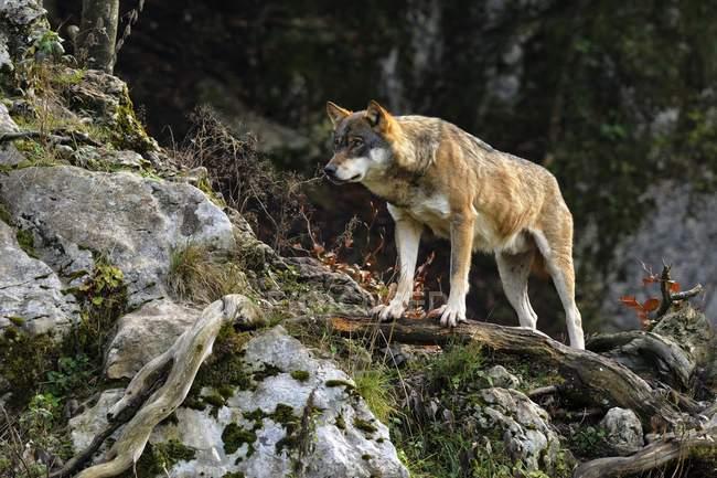 Europäischer Wolf stehend auf Ast im Wald — Stockfoto