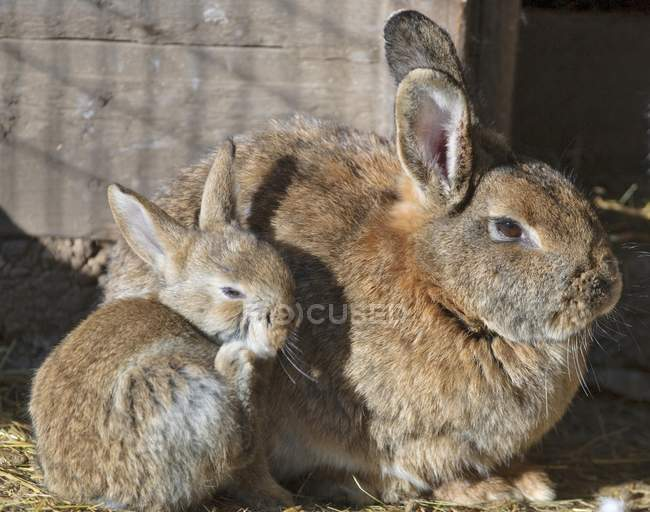 Domestic rabbits sitting in rabbitry enclosure, close-up — стоковое фото