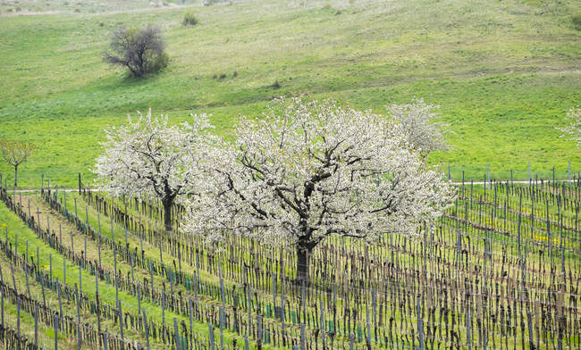 Fioritura di alberi di ciliegio in vigneto, Breitenbrunn, Burgenland settentrionale, Burgenland, Austria, Europa — Foto stock
