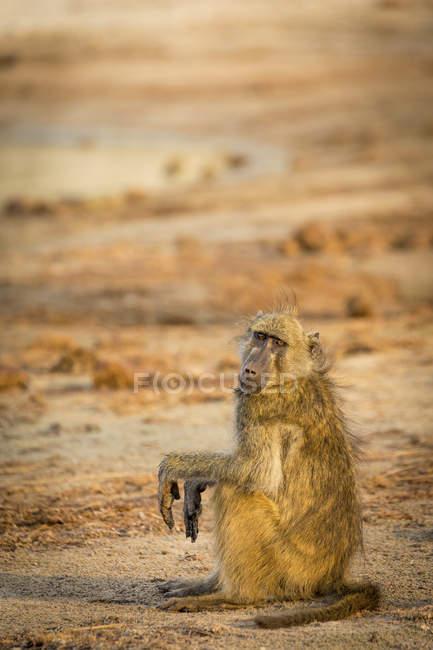 Babbuino di Chacma che si siede sulla terra nella luce della sera, Chobe National Park, fiume Chobe, Botswana, Africa — Foto stock