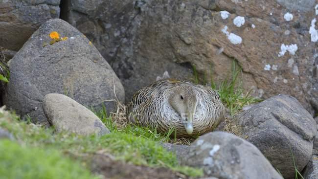 Eider female brooding on nest between rocks, Breidafjordur, Flatey, West Iceland, Iceland, Europe — Photo de stock