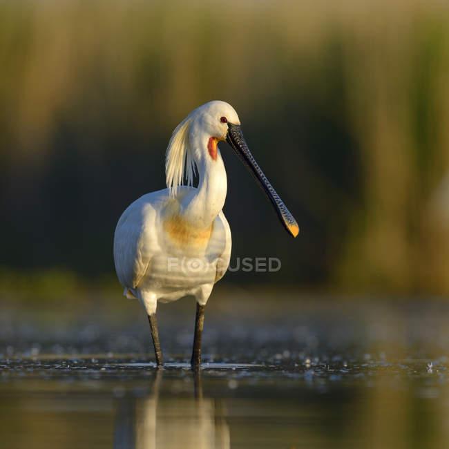 Spatola di foraggiamento in luce nell'acqua del lago del mattino — Foto stock