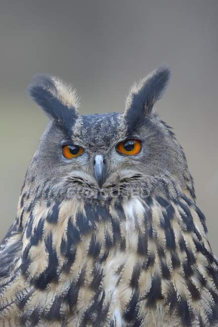Eurasian águila-búho retrato femenino adulto, Parque Nacional Sumava, Bohemia, República Checa, Europa - foto de stock