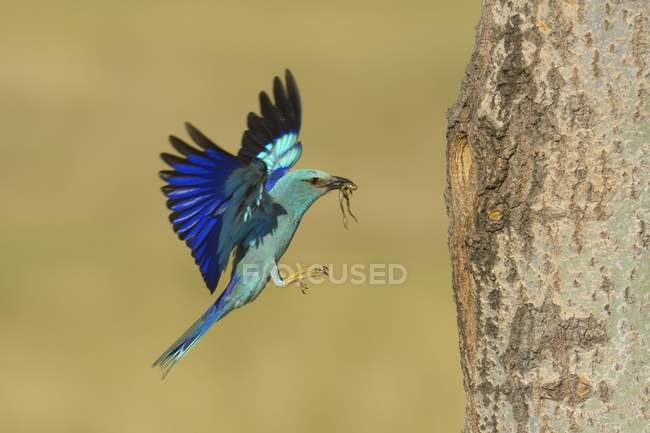 European roller approaching nesting hole with prey in beak, Kiskunsag National Park, Hungary, Europe — Stock Photo