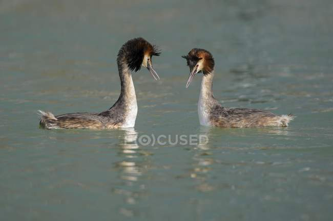 Great crested grebes breeding pair in courtship display, Lake Constance, Baden Wurttemberg, Germany, Europe — Foto stock