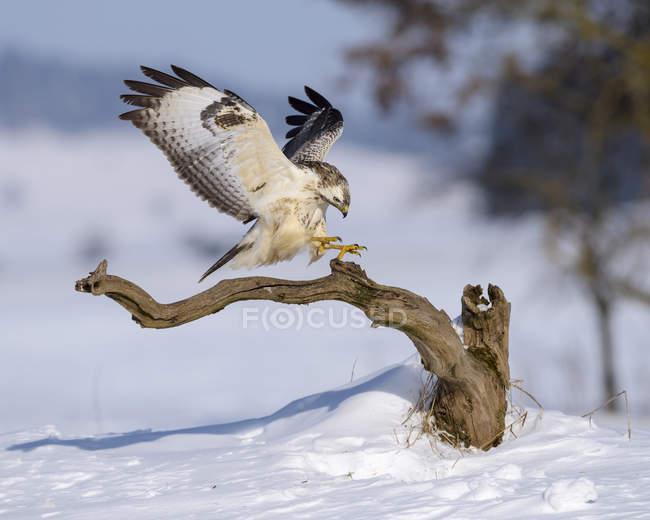 Канюк, посадка на окуня в пейзаж, снег covered — стоковое фото