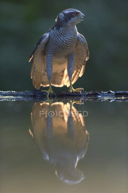 Goshawk at waterhole with reflection in water, Kiskunsag National Park, Hungary, Europe - foto de stock