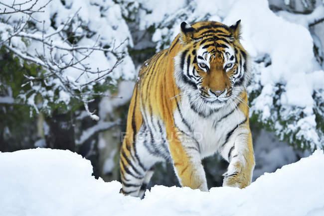 Camminare in neve profonda nel Parco della tigre siberiana — Foto stock