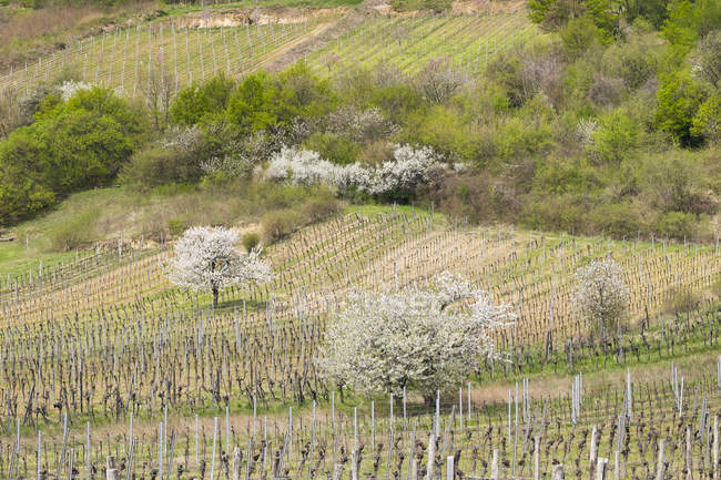 Ciliegi in fiore nella vigna, Donnerskirchen, monti Leitha, Burgenland settentrionale, Burgenland, Austria, Europa — Foto stock