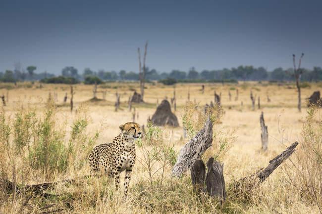 Охота гепарда в лугах Окаванго Дельта, Ботсвана, Африка — стоковое фото