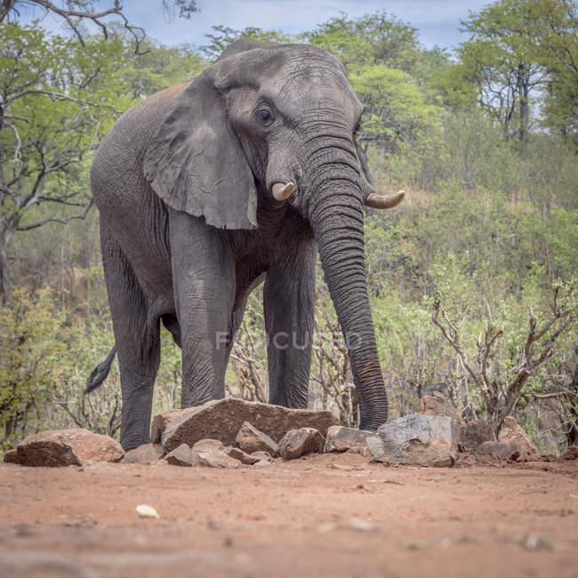 Elefante africano in Ghoha Hills, Parco nazionale di Chobe, Botswana, Africa — Foto stock