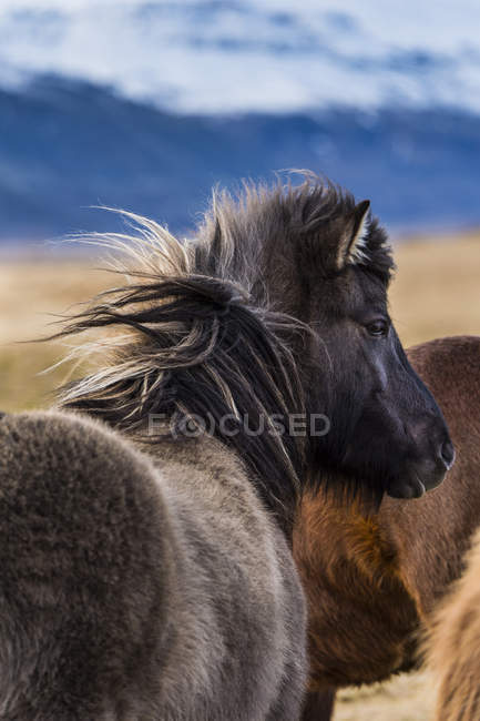 Icelandic horses, rear view, Vik, Iceland, Europe — Stock Photo