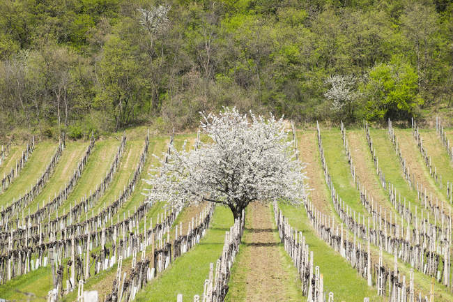 Ciliegi in fiore nei vigneti, Donnerskirchen, monti Leitha, Burgenland settentrionale, Burgenland, Austria, Europa — Foto stock