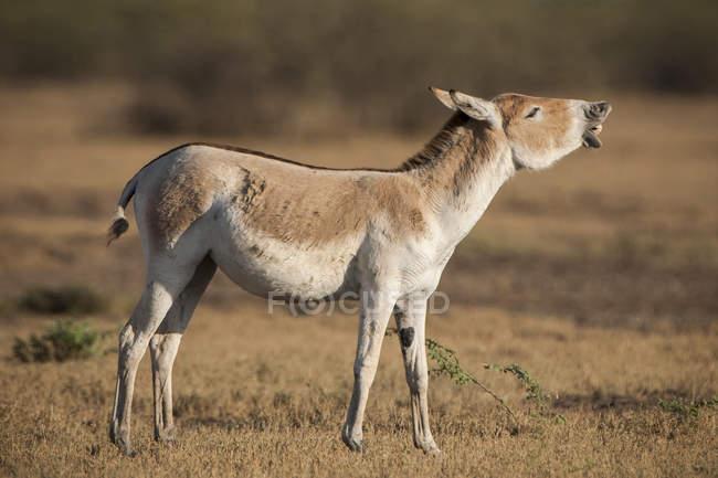 Onager donkey flehming in meadow in Little Rann of Kutch, Gujarat, India, Asia — Stockfoto