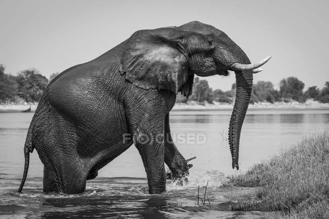 Elefante africano emergentes do Rio Chobe, Parque Nacional de Chobe, Botswana, África — Fotografia de Stock
