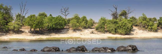 Manada de elefantes africanos que atravessam o rio, vista panorâmica, Parque Nacional de Chobe, Rio Chobe, Botswana, África — Fotografia de Stock