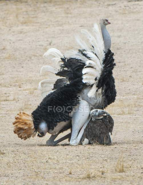 Ostriches couple mating while courtship, Kgalagadi Transfrontier National Park, Northern Province, South Africa, Africa — Foto stock
