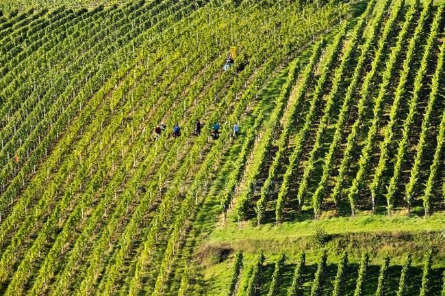 Raccolta dell'uva in vigna al villaggio di Escher, Volkach, Franconia, Bassa Franconia, Franconia, Baviera, Germania, Europa — Foto stock