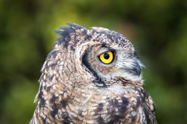 Spotted eagle-owl portrait outdoors, captive — Stock Photo