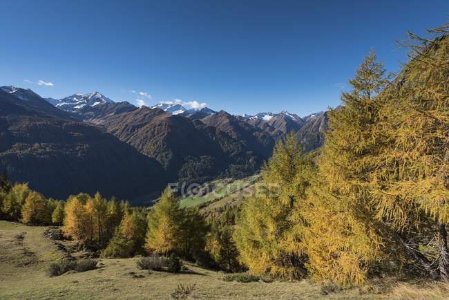 Yellowed larches in autumnal mountain forest, upper Virgental, Bodenalm, East Tyrol, Austria, Europe — Stock Photo