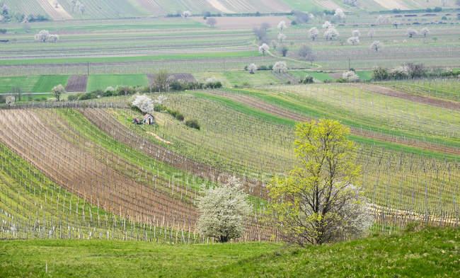 Vigneti e ciliegi in fiore, Hacklberg montagna, Jois, Burgenland settentrionale, Burgenland, Austria, Europa — Foto stock