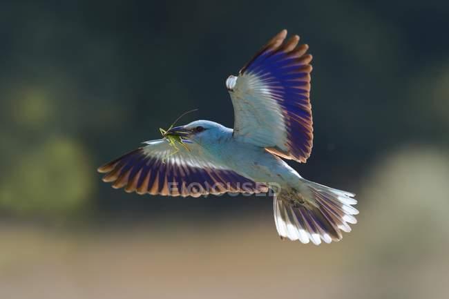 Європейський ролик наближається до гнізда з здобиччю в дзьобі, Національний парк Кіскунгпб, Угорщина, Європа — стокове фото