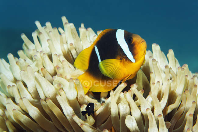 Red Sea clownfish in front of marine anemone, Red Sea — Stock Photo