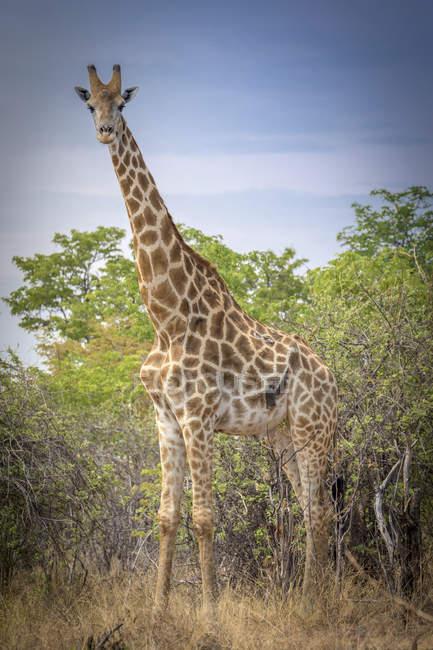 Angolana giraffa davanti alla boscaglia, colline di Ghoha, Parco nazionale di Chobe, Botswana, Africa — Foto stock