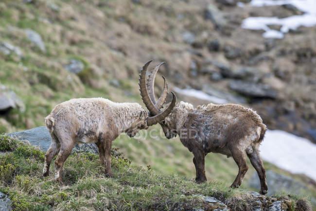 Alpine Steinböcke, die Kämpfe in den Rocky Mountains Nationalpark Hohe Tauern, Kärnten, Österreich, Europa — Stockfoto
