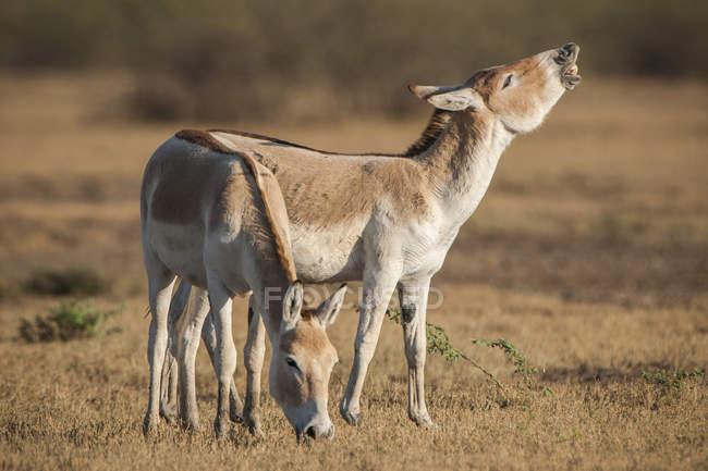 Onagers flehming in meadow in Little Rann of Kutch, Gujarat, India, Asia — Stockfoto