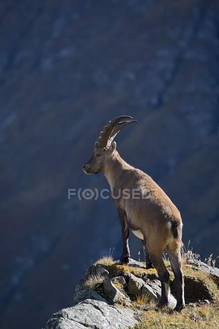 Pé de macho íbex na borda do penhasco, Kaiser-Franz-Josefs-Hohe, Parque Nacional de alta Tauern, Caríntia, Áustria, Europa — Fotografia de Stock