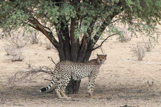 Cheetah under acacia tree, Kgalagadi Transfrontier Park, Northern Cape Province, South Africa, Africa — Stock Photo