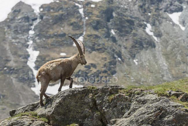 Alpensteinbock Kletterfelsen im Nationalpark Hohe Tauern, Kärnten, Österreich, Europa — Stockfoto
