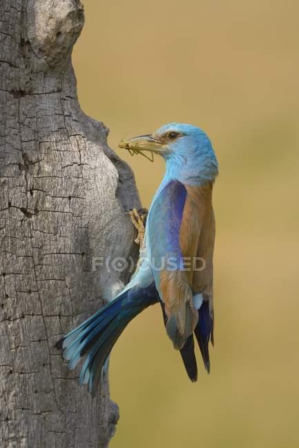 European roller at nest with prey in beak, Kiskunsag National Park, Hungary, Europe — Fotografia de Stock