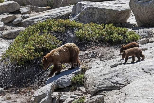 Urso marrom com dois filhotes andando sobre pedras, Sentinel Dome, Parque Nacional de Yosemite, Califórnia, EUA, da América do Norte — Fotografia de Stock