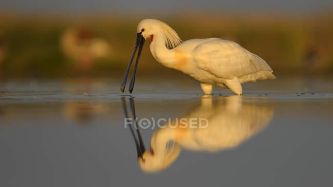Spatola di foraggiamento nella luce del mattino con la riflessione in acqua di lago — Foto stock